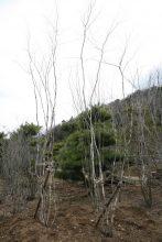 西側の庭に植えるアオダモの樹・・・山取りの自然な樹形が美しい落葉樹・・・夏は陽を遮り、冬は陽光を!